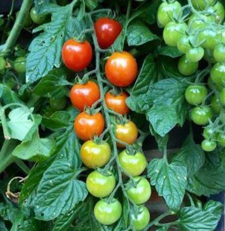 tomatoclipping.jpg